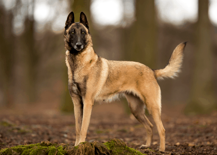 belgian malinois in the forest