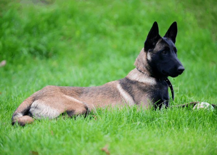 belgian malinois lying in the green grass