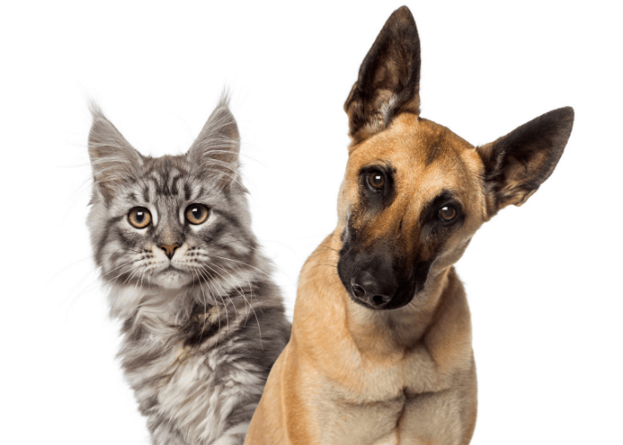 belgian malinois with a cat