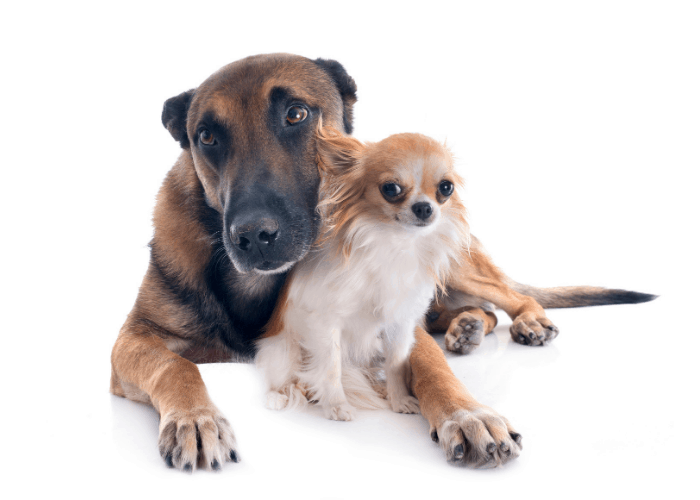 belgian malinois with a chihuahua