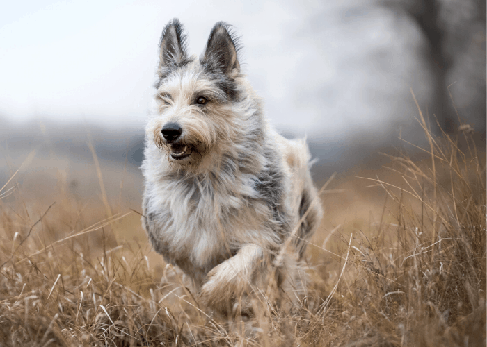 berger picard dog running in the field during winter