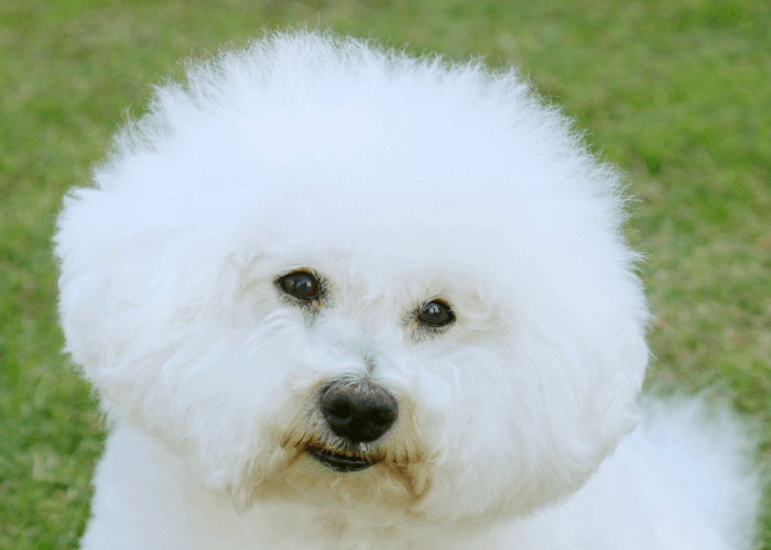 bichon frise close up