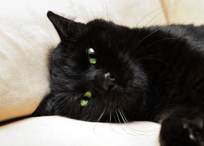 black cat lying on the couch