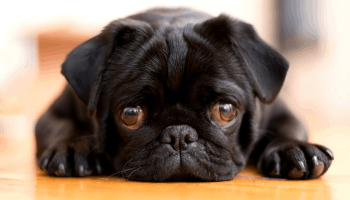 black pug lying on its tummy