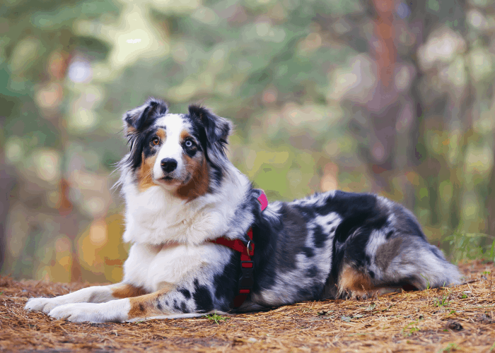 blue merle australian shepherd lying in the forest