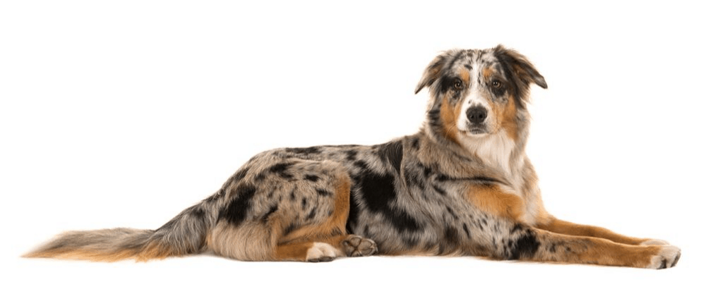blue merle australian shepherd lying on white background