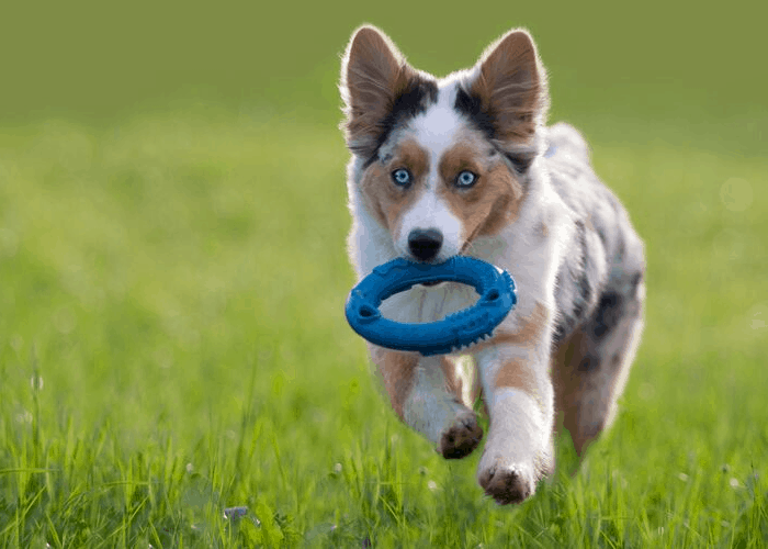 blue merle australian shepherd retrieving a blue chew toy