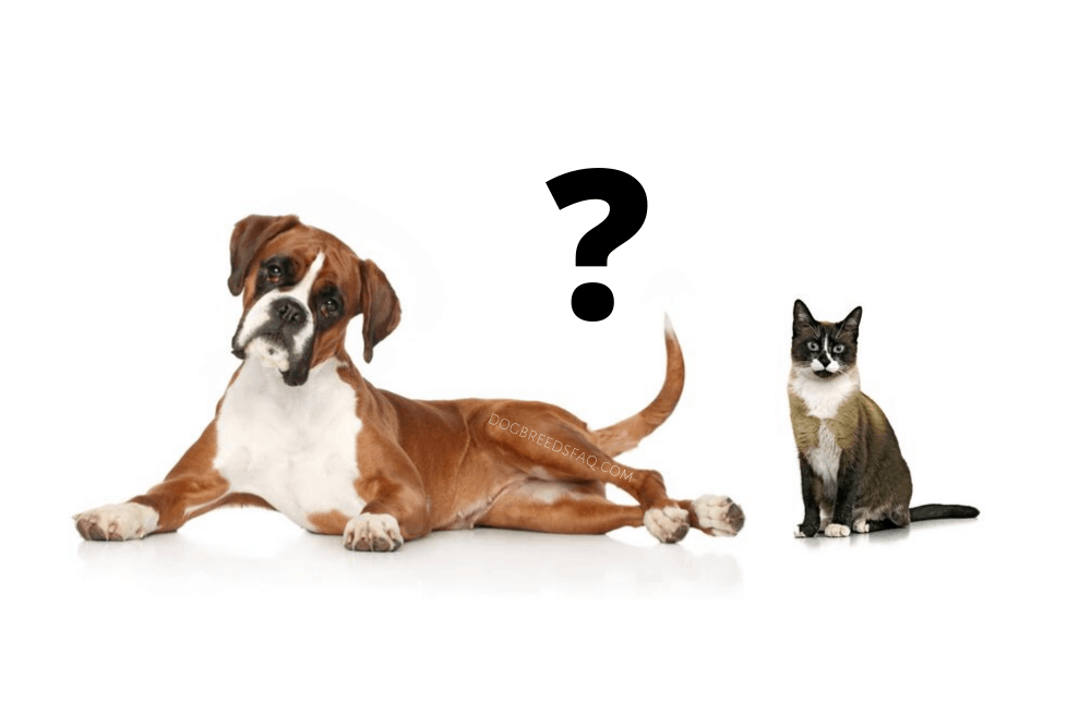 boxer and a cat and a question mark on white background
