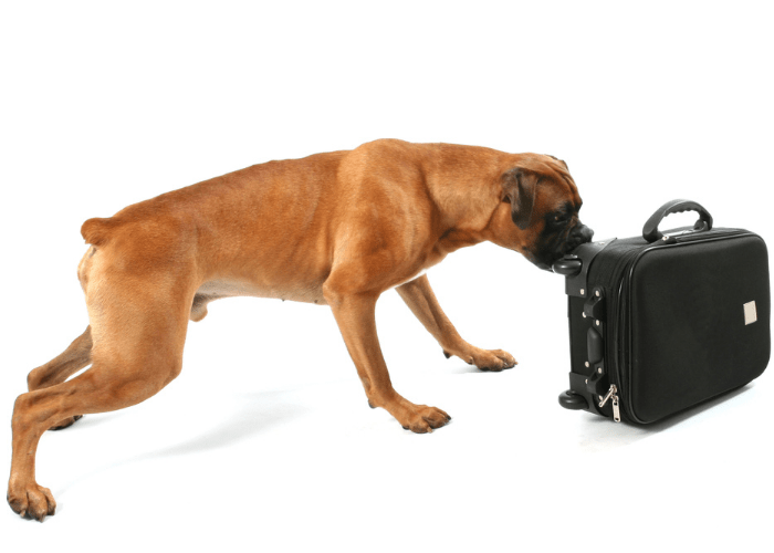 boxer dog sniffing scents in luggage for drugs
