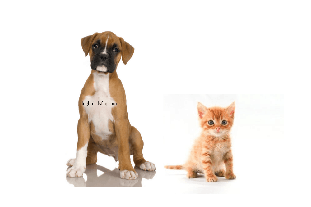 boxer puppy and kitten on white background
