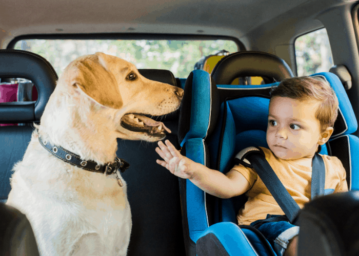 boy in safety seat touching a labrador dog in a car