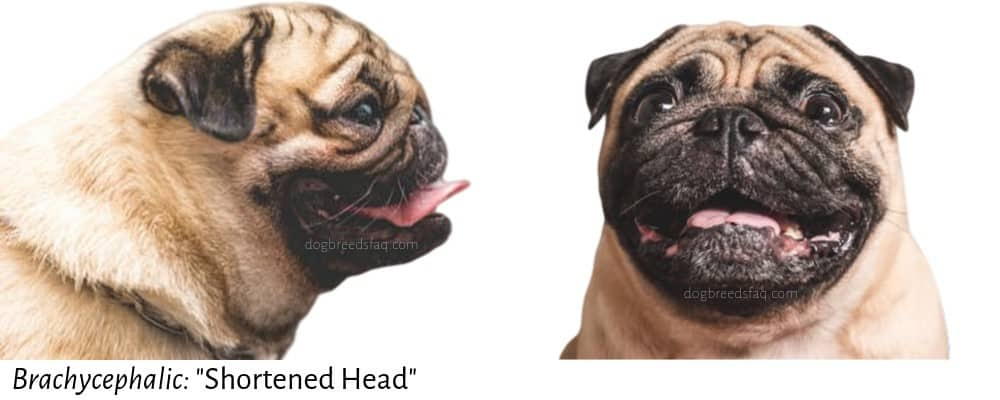 brachycephalic word meaning illustration