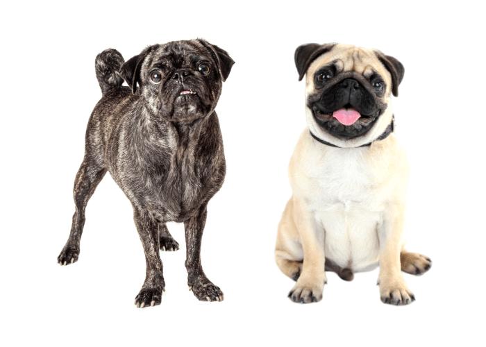 brindle and fawn pugs on white background