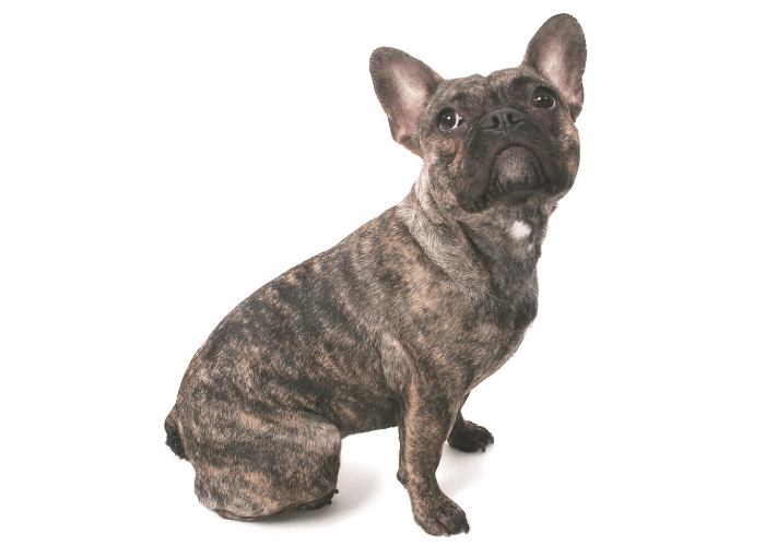 brindle french bulldog side view and looking up