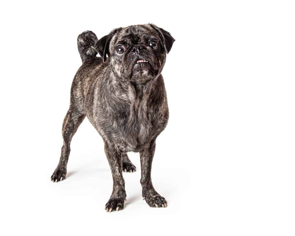 brindle pug standing against a white background