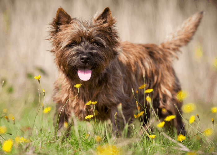 cairn terrier walking around yellow flowers