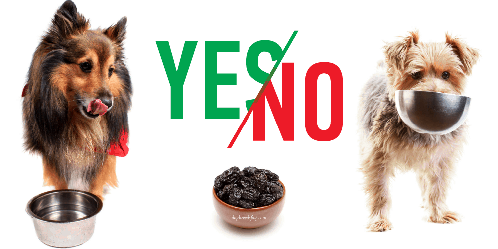 can dogs eat prunes illustration