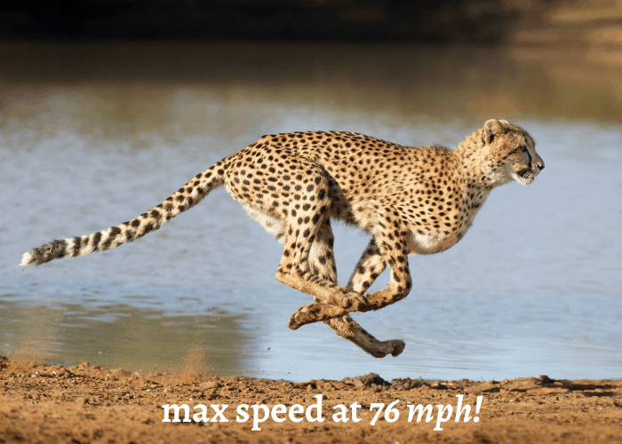 cheetah's max speed at 76mph