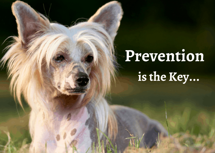 chinese crested dog lying on the lawn with prevention is the key advice