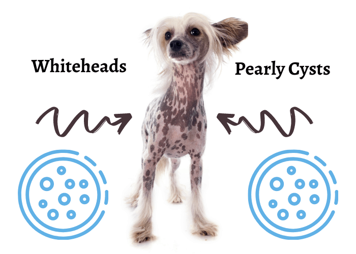 chinese crested dog with whiteheads and pearly cysts