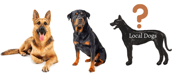 chinese red dog breed history