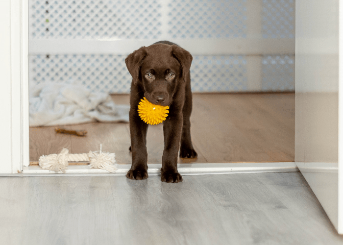 chocolate Labrador puppy playing in apartment