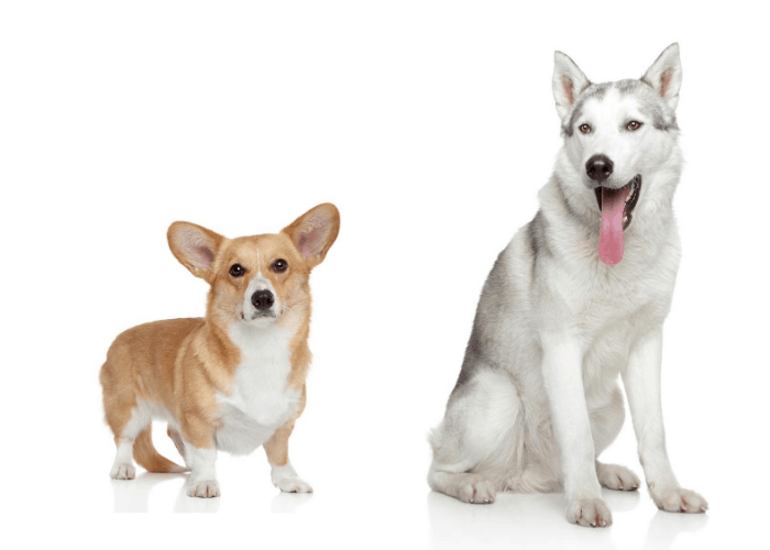 corgi and siberian husky on white background
