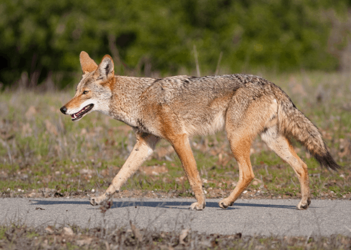 coyote walking on the road