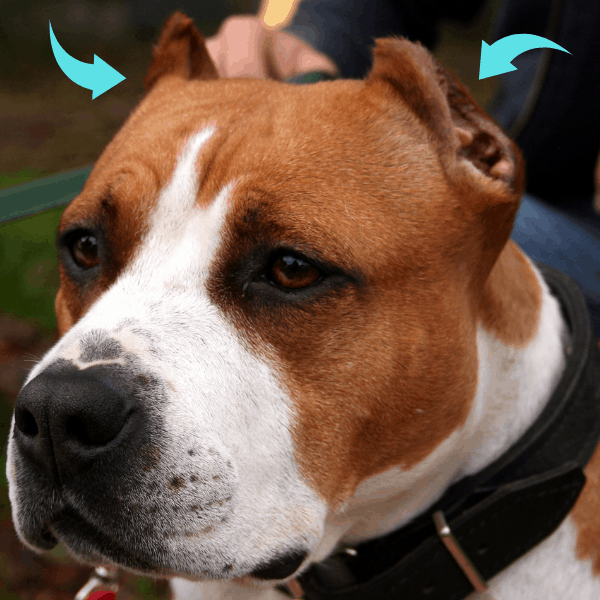cropped pit bull ears
