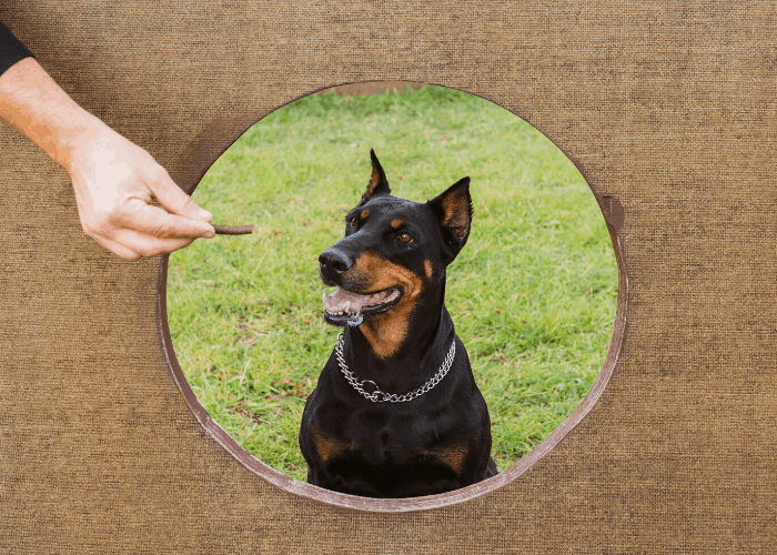 doberman pinscher at training
