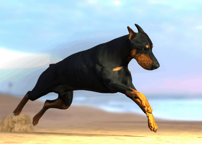 doberman pinscher running and jumping