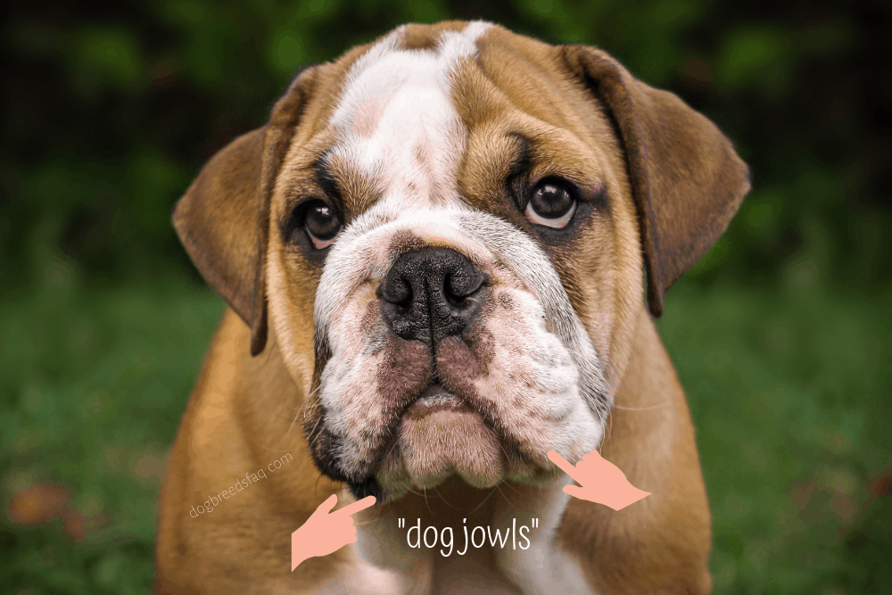 dog jowls illustration
