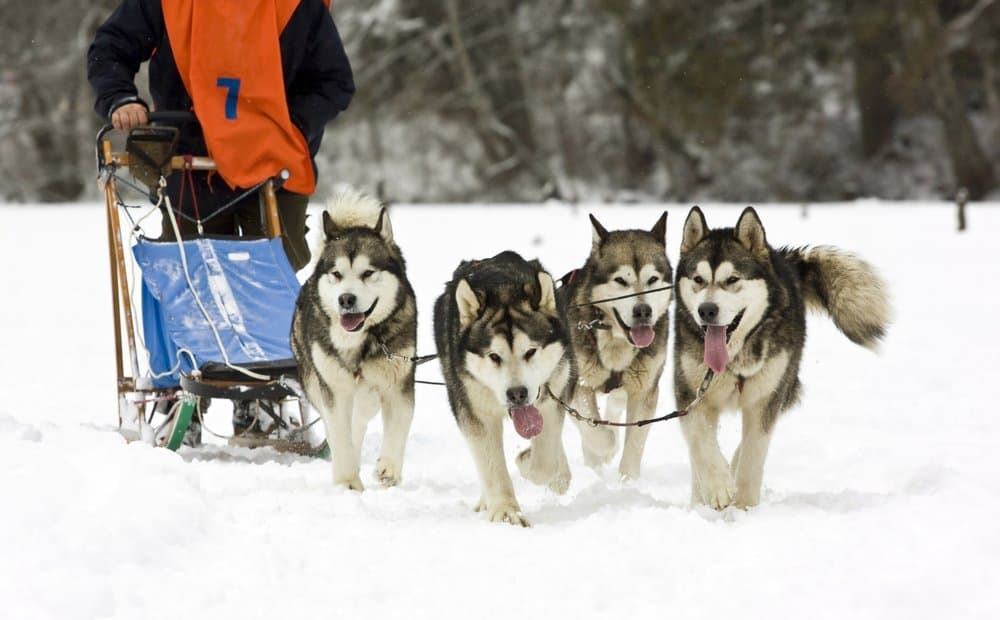 dog-sledding huskies