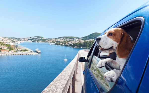 A beagle dog stick its heads out of a window while traveling in a blue car