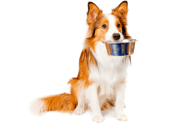 dog waiting for a meal image on white background
