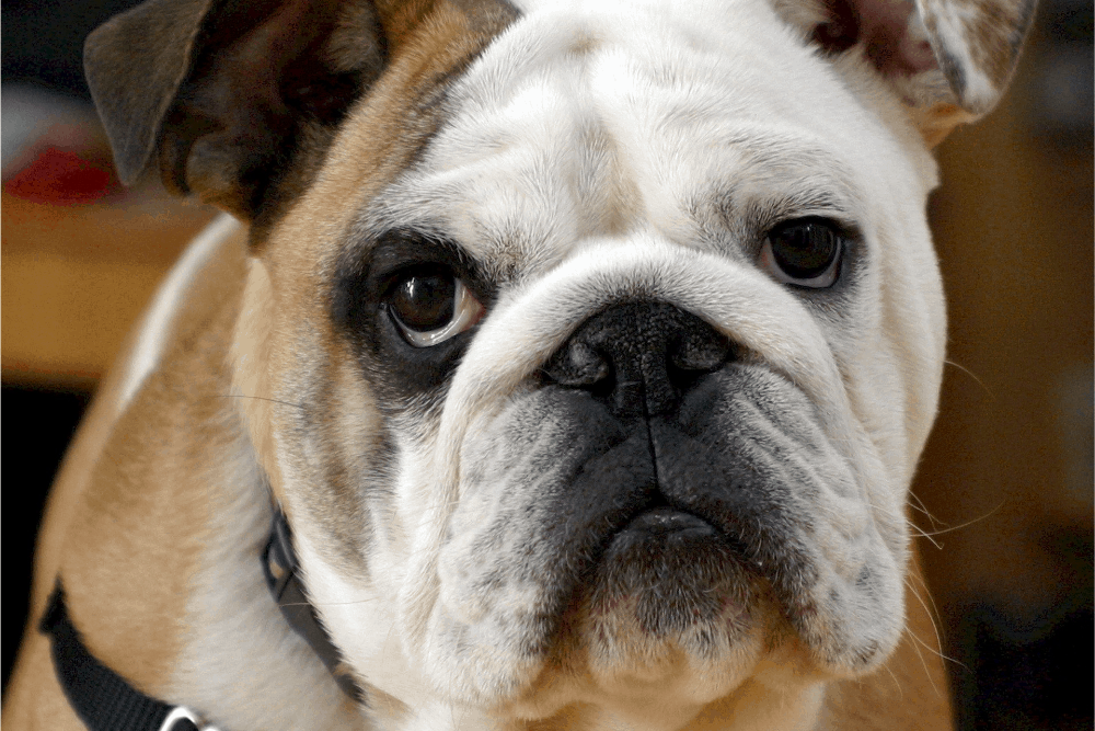 english bulldog close-up photo