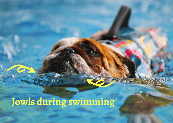 english bulldog using his jowls for swimming