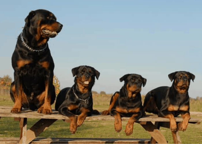 four rottweilers sitting on a long bench
