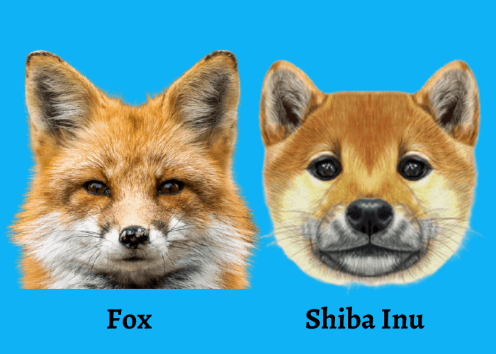 fox and shiba inu on blue background