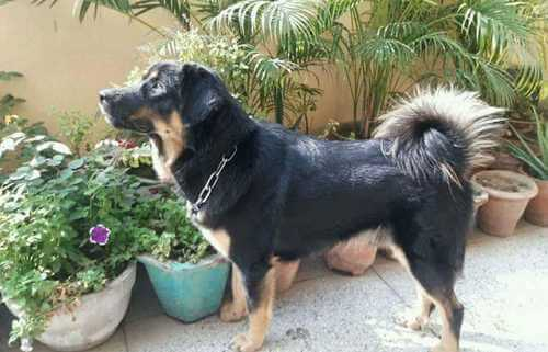 gaddi kutta dog breed in the garden