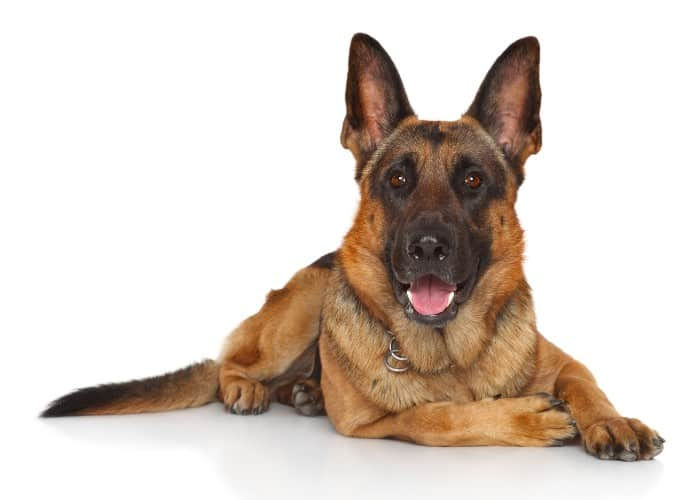 german shepherd on white background
