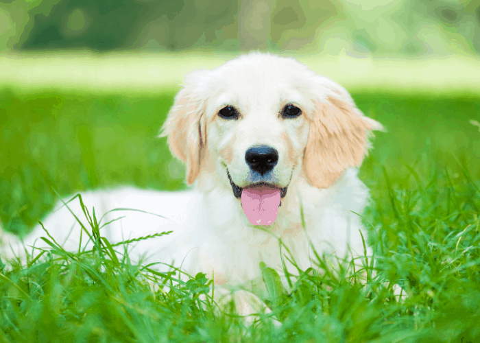golden retriever puppy lying on the lawn