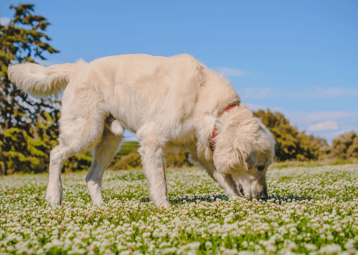 golden retriever sniffing small flowers