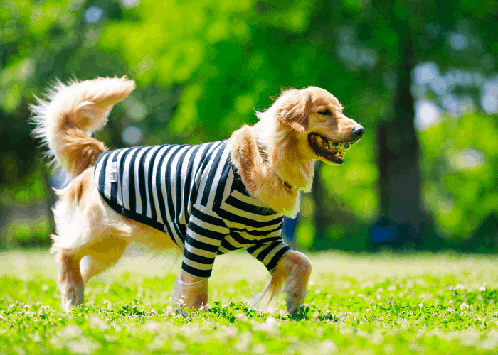 golden retriever with a shirt walking on the lawn