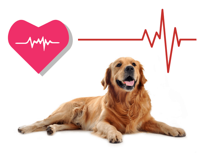 golden retriever with red heart and heartbeat