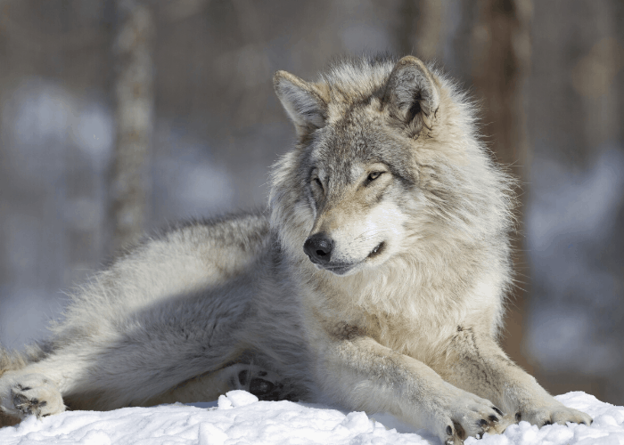 gray wolf lying on the snow