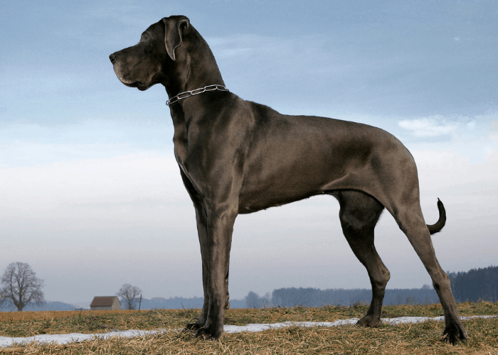great dane standing side view