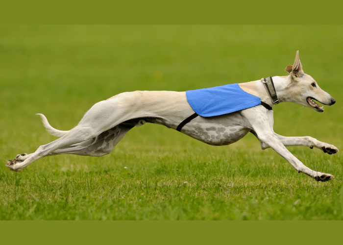 greyhound running fast on the lawn