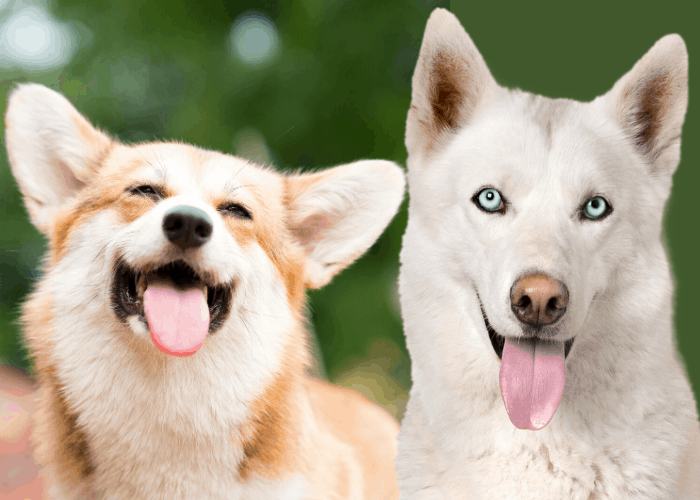 happy corgi and white husky