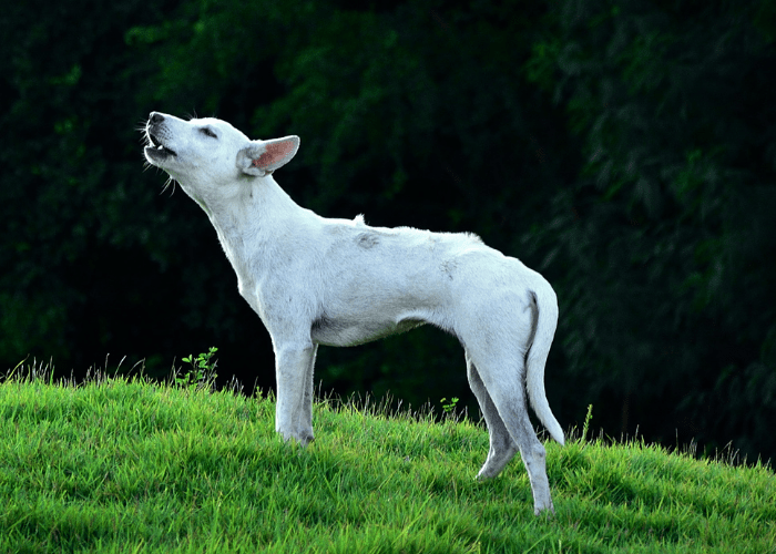 howling white dog on the lawn